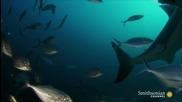 Мистериозно животно изяде цяла огромна бяла акула