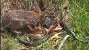 Заек спасява малките си от змия