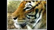 Rado Shisharkata Tigre Tigre