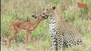Леопард се сприятелява с малка импала