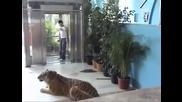 Изненада с тигър ( Скрита камера )