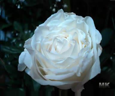Караоке - Бяла роза.avi