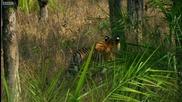 Тигрица показва ловните си умения на малките в джунглата