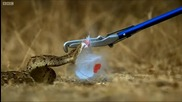 Спираща дъха ! Смъртоносна атака на змия !