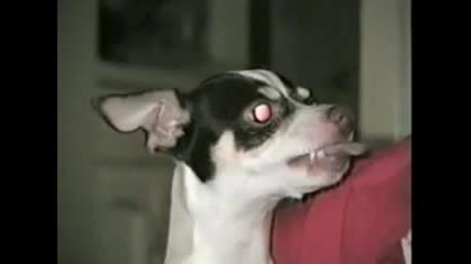 Зловещото чихуахуа...