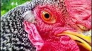 Какво правят кокошките в двора, когато не сте вкъщи