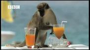 Маймунки алкохолици - Смях
