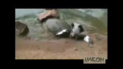 Костенурка изяжда гълъб