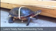 Tortue sur un skateboard