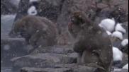 Животът на Приматите - Оцеляване в студа