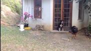 Промъкващо се лъвче изкарва акъла на куче - смях !