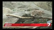 Снежен леопард дебютира в Ню Йорк