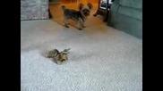 смешно куче изпълнява команди (смях)