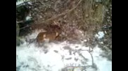 лов на лисица