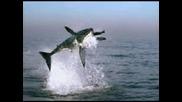 Акула Захапва Тюлен Над Водата - видеото е забавено 40 пъти - гледка