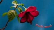 Даровете от природата - прекрасният хибискус! ... ( Pavlo Simtikidis music) ...