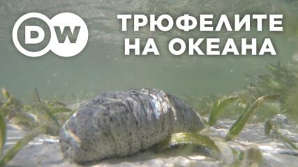 Морските краставици – трюфелите на океана