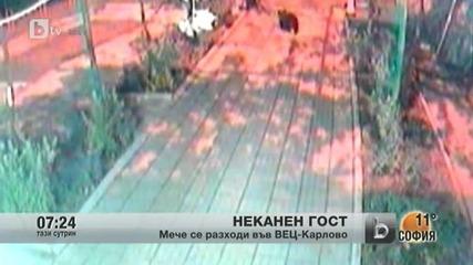 btv репортаж - Малко меченце забелязано в градът на Апостола - Карлово