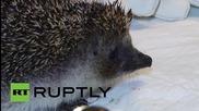 Russia: Brave hedgehog has 20 bad teeth removed