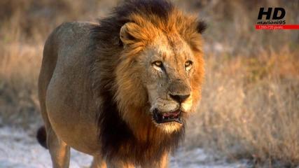 Страхотни снимки на лъвове - marioni95 Hd