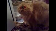 Руските котки са най-страшни!