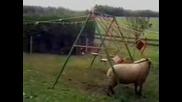 Овца Разбива Люлка (голям Смях)