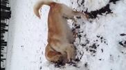 Куче копае в сняг (Голдън Рейтривър)
