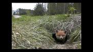 Лисиче Любопитно Зверче Изучава Белия Свят ~ Fox Pup puppy