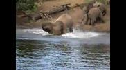 Крокодил атакува слон!
