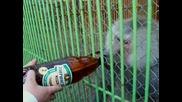 piene na bira
