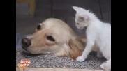 Сладко Коте Дразни Мързеливо Куче