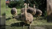 Ostrich Fun – фермата за щрауси!