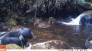 Мечка учи малкото си да пресече поток!