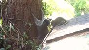 Майка енот учи бебето си как да се катери по дърво