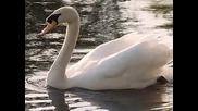 """Swan Lake ( Overture) - Tcha,,""""лебедово езеро"""""""