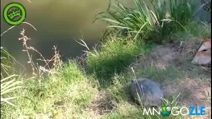 Епичен скок на костенурка в реката