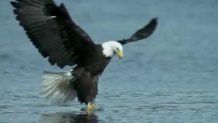 Плешивият орел на лов за сьомга