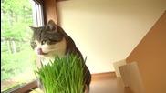 Котето Мару се качва по стълбички и похапва тревичка