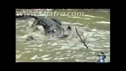 Битка Между Питон и Алигатор!