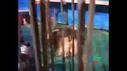 Лъв Едваm Не Убива Човек В Цирка