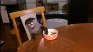 Сладка видра се храни на масата