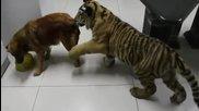 Смях Куче Пази Водата Си От Тигър