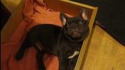 Малкият сладък френски булдог не иска да си ляга и се опитва да хитрува, но май няма да му се получи
