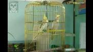 Мъжки папагал ухажва женски