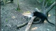 Пантери се боричкат