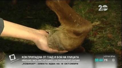 Кон припадна от глад и бой на столично кръстовище - Здравей, България (29.09.2014г.)