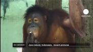 Орангутани в Индонезия пушат като печки