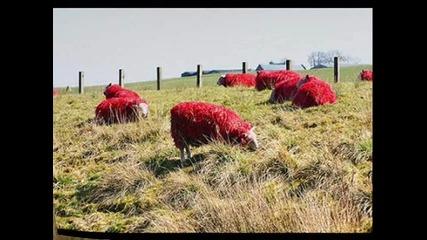 Черната овца Ахат