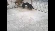 Развъдник за немски овчарки Alexander имаме малки от Fill di casa Nobili