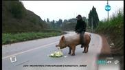 Мъж язди прасе - Смях !